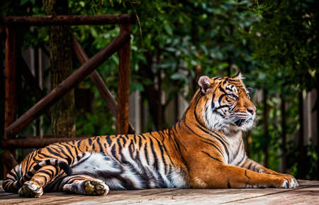panthera tigris sumatrae: Portrait of the Sumatran tiger  Panthera tigris sumatrae Stock Photo