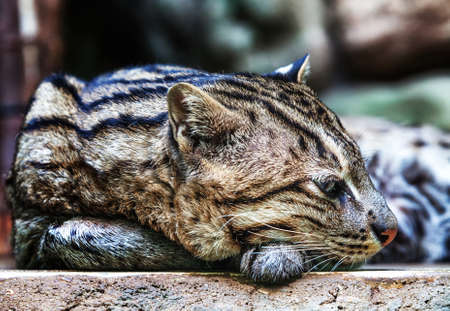 Female of Clouded leopard  Stock Photo