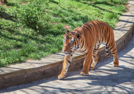 The Malayan tiger walking