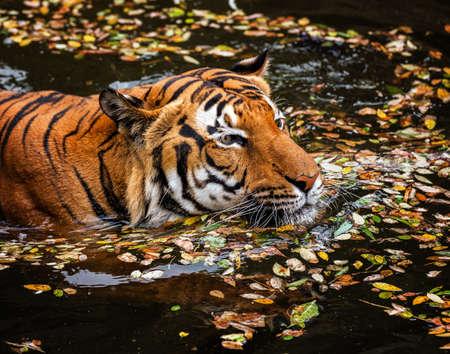 tigresa: El joven tigre de Sumatra en la corriente Foto de archivo
