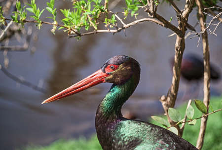 wading: Theportrait of  black stork, a large wading bird