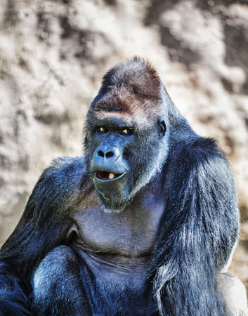 The portrait of a big gorilla male