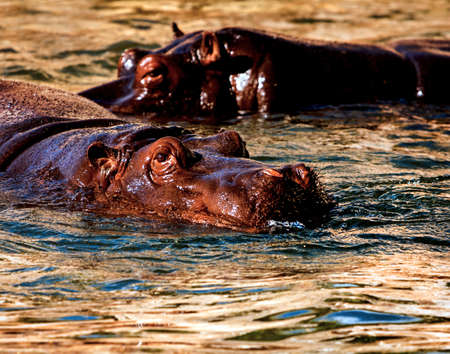 Twoswiming hippos in the evening river