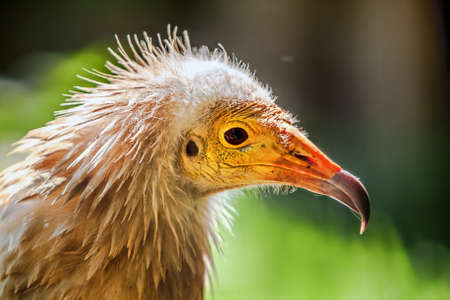 The close up of Egyptian vulture  Neophron percnopterus