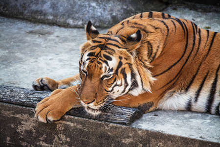 Portrait of Sumatran tiger (Panthera tigris jacksoni) resting at ZOO Stock Photo