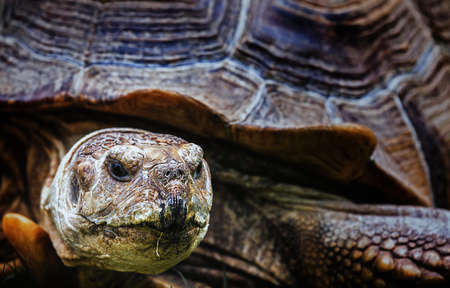 The closeup portrait of African spurred tortoise Stock Photo