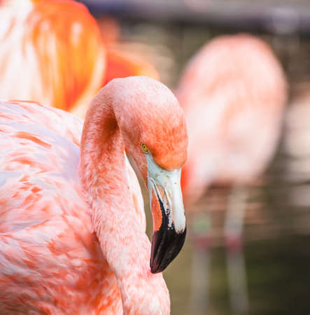 The portrait of Cuban flamingo ( Phoenicopterus ruber ruber )
