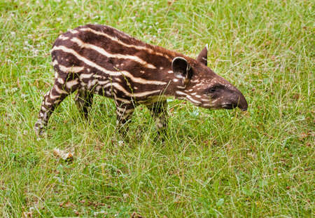 Young cub of the endangered South American tapir (Tapirus terrestris) Stock fotó
