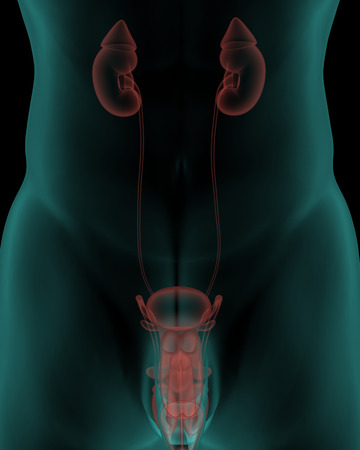 Human body with urinary system internal organs in x-ray view