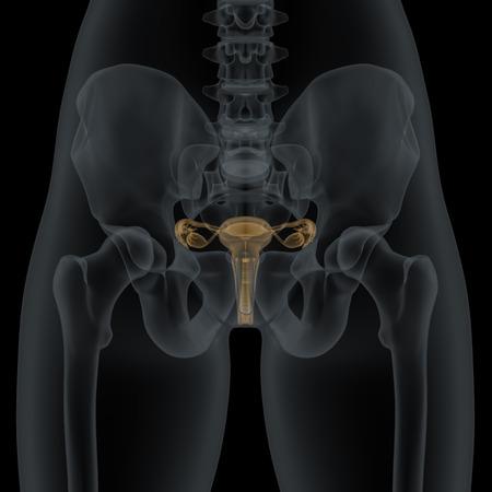 Menschen Weibliche Genital Anatomie Seiten Wiew In Der Röntgen ...