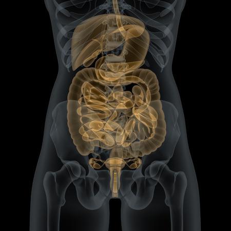 Menselijk vrouwelijk lichaam met spijsverteringssysteem inwendige organen in de x-ray view