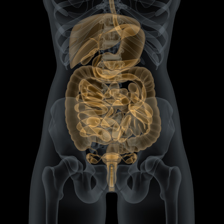 X 線ビューの消化器系臓器を人間の女性体 写真素材