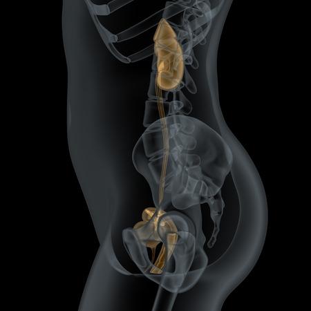 uretra: Wiew lateral humana femenina Anatomía urogenital en radiografía
