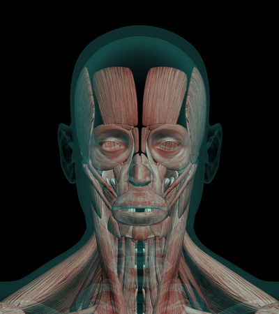 abductor: 3D illustration Human Anatomy Muscles of a head with bones x-ray wiev