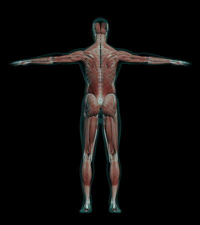 ścięgno: 3D illustration of human male anatomy with muscles and skeleton, back view