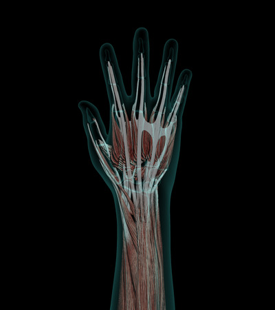abductor: Human Anatomy Muscles of a hand with bones x-ray wiev
