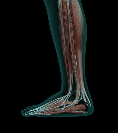 Human Anatomy Muscles of a leg with bones x-ray wiev Stock Photo