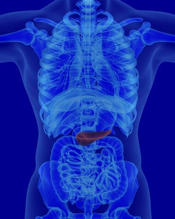 pancreas: anatomy of human pancreas with digestive organs in x-ray view