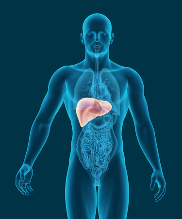 human liver: anatomy of human liver with digestive organs in x-ray view 3d illustration