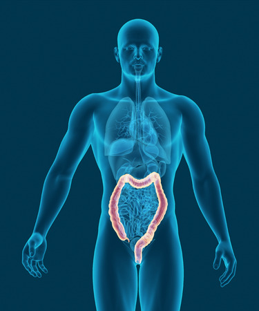 digestive organs: anatomy of human colon with digestive organs in x-ray view 3d illustration