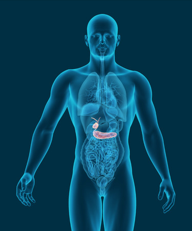 digestive organs: anatomy of human gallbladder and pancreas with digestive organs in x-ray view 3d illustration
