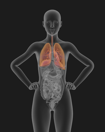 alveolus: Woman body x-ray scan with visible respiratory system 3d render