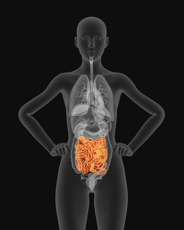 cecum: X-ray picture of woman small intestine visible 3d illustration render