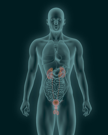 X-rays scan of human urinary system 3d illustration Stock Photo