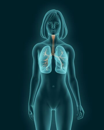 Woman body x-ray scan with visible trachea and bronchi 3d render
