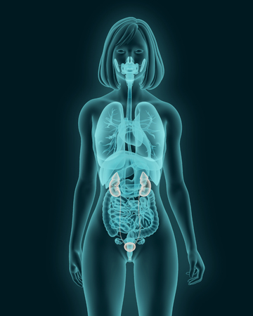 X-rays of Female urinary system 3d illustration