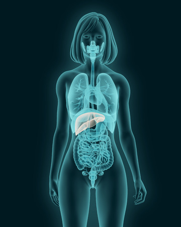 anatomy of woman liver with digestive organs in x-ray view 3d render