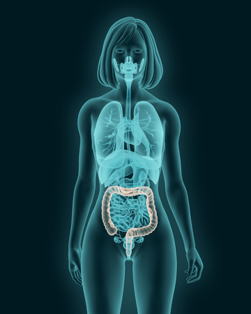 abdomen women: anatomy of woman colon with digestive organs in x-ray view 3d illustration Stock Photo