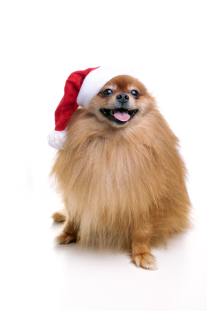 흰색 배경에 앉아 새 해 2018의 산타 클로스 기호의 모자에 귀여운 Pomeranian 개