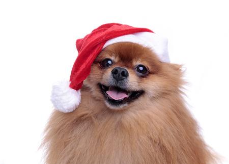 산타 클로스의 모자에 귀여운 Pomeranian 개 새 해 2018 흰색 배경에 앉아의 기호 근접 전체 얼굴 스톡 콘텐츠