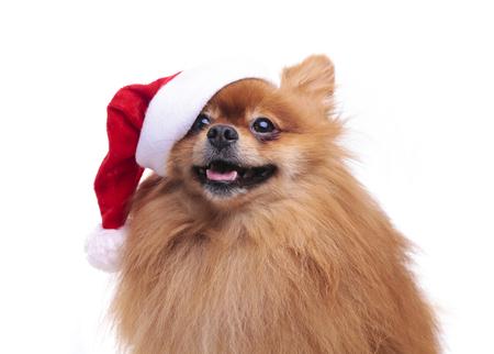 산타 클로스의 모자에 귀여운 Pomeranian 개 새해 흰색 배경에 앉아 2018의 기호 전체 얼굴을 찾고