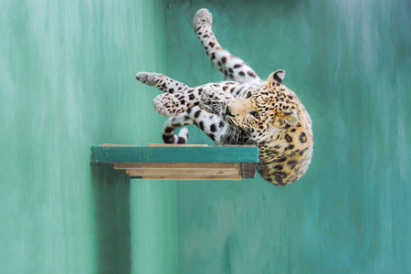 clumsiness: Young amur leopard falling from the shelf