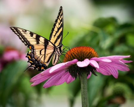 swallowtail: Eastern Tiger Swallowtail on Purple Coneflower