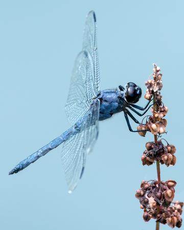 slaty: Slaty Skimmer Dragonfly Against Blue Background