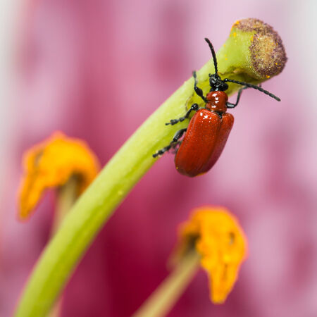 Closeup of Red Lily Beetle on a Stargazer Lily Stigma Imagens