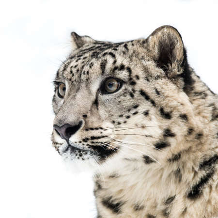 snow leopard: 34 profile portrait of Snow Leopard Stock Photo