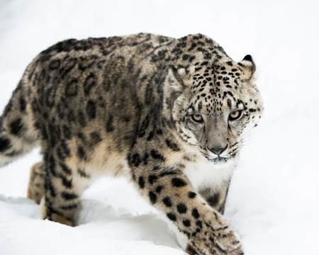 snow leopard: Frontal portrait of Snow Leopard walking in snow