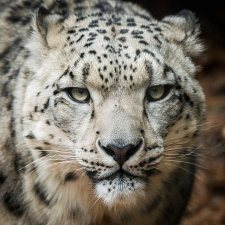 snow leopard: Frontal portrait of Snow Leopard