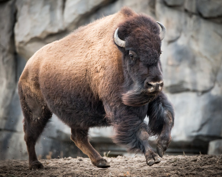 Running American Bison Stok Fotoğraf