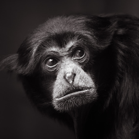 siamang: Frontal Portrait of a Siamang