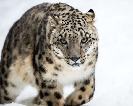 snow leopard: Frontal Portrait of a Snow Leopard in Snow
