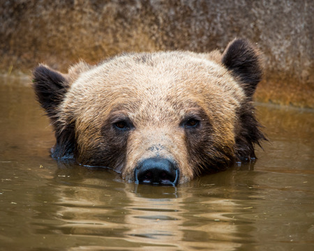 Grizzly Bear Submerged Under Water