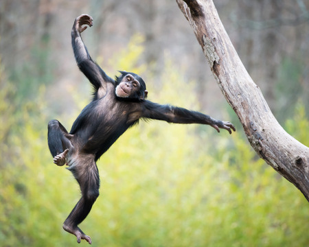 Young Chimpanzee Swinging and Jumping from a Tree Stock Photo - 29384319