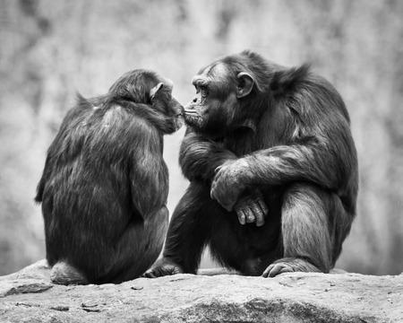 Chimpanzee Couple Sharing a Sweet Kiss Stock Photo - 29384334