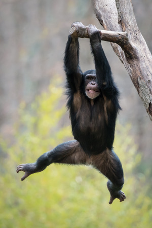 Young Chimpanzee Swinging from a Tree Branch