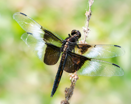 skimmer: Widow Skimmer Dragonfly Perched on a Branch